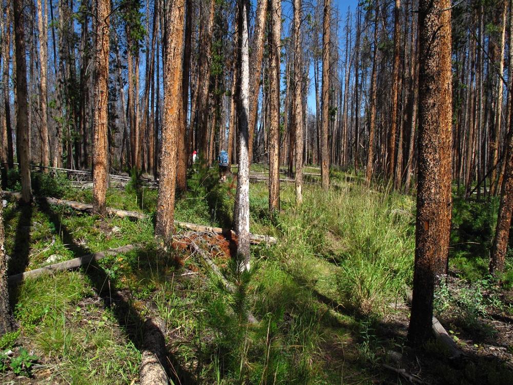 Peak L Beetle Kill Forest