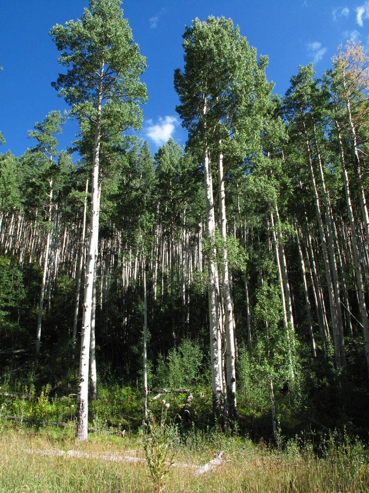 Peak L Aspen grove